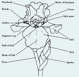 Iris (plant) - Illustration of an iris flower with highlighted parts of the flower