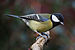 Parus major poised.jpg