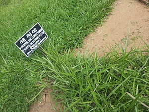 Paspalum scrobiculatum - At Peradeniya Royal Botanical Garden