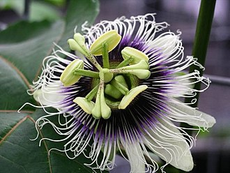Passiflora edulis - Flower