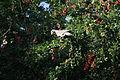 Patagioenas corensis - Bare-eyed Pigeon - Venezuelankyyhky IMG 1016 C.JPG