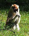 Patas.monkey3.jpg