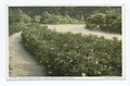 Pathway and Wild Roses, Arnold Arboretum, Boston, Mass (NYPL b12647398-69919).tiff