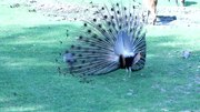 Imachen:Peacock mating dance 01.ogv
