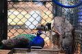 Peacocks-2 Childrens Park Chennai.JPG