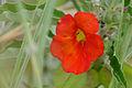 Pedaliaceae (Pterodiscus elliottii) red flower (16799710833).jpg