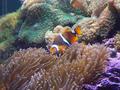 Peixe-palhaço em aquário, Caconde-SP.png