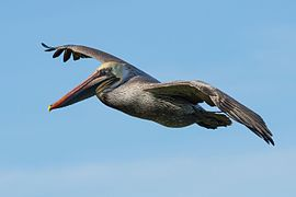 Pelecanus occidentalis in flight at Bodega Bay.jpg