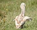 Pelican contortions (43666786445).jpg