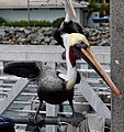 Pelican on a Rail (15902320785).jpg