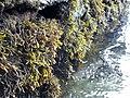 Pelvetia canaliculata on slipway.jpg