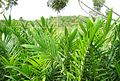 Pembibitan kelapa sawit (25).JPG