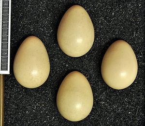 Daurian partridge - Eggs, Collection Museum Wiesbaden
