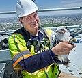 Peregrine falcon chick banding Verrazano-Narrows Bridge.jpg