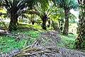 Perkebunan kelapa sawit milik rakyat (92).JPG