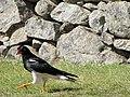 Peruvian bird of prey (6075623836).jpg