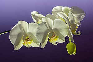 Phalaenopsis Cultivar White 01.jpg