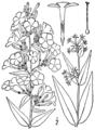 Phlox maculata BB-1913.png
