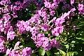 Phlox paniculata Shortwood 4zz.jpg