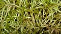 Phoenix Feather Moss (Pleurozium schreberi) - Gatineau Park, Quebec.jpg