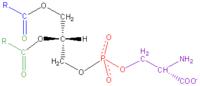 Phosphatidyl-Serine.png