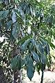 Photinia serratifolia Japanese Photinia შიშველი ფოტინია (2).JPG