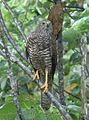 Photo of Christmas Island Goshawk 2006.jpg
