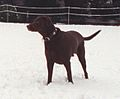 Photograph of Buddy the Dog Playing in the Snow at the White House- 01-20-2000 (6461543593) (cropped).jpg