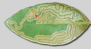 Leaf miner - Leaf mines by the moth Phyllocnistis hyperpersea on a Persea borbonia leaf.