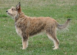 Laekenois Dog Breed