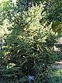 Picea torano - J. C. Raulston Arboretum - DSC06188.JPG