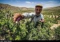 Picking rose to make Golab in Fars 08.jpg