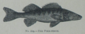 Picture Natural History - No 224 - The Pike-perch.png