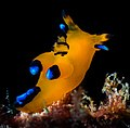 Pikachu Nudibranch Thecacera pacifica 4.jpg