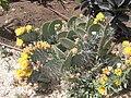 PikiWiki Israel 1702 Israeli plants צמחייה כחול-לבן.jpg