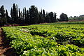 PikiWiki Israel 39945 Agriculture in Israel.JPG