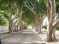 PikiWiki Israel 7386 ficus avenue in herzliya.jpg