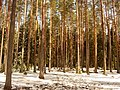 Pines forest - panoramio.jpg