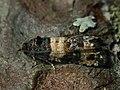 Piniphila bifasciana (41252053522).jpg