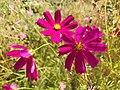 Pink Cosmos bipinnatus in Suşehri.jpg