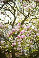 Pink Magnolia Garden (4561030759).jpg