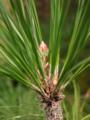 Pinus Canariensis.TIF