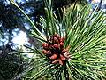 Pinus contorta 8030.jpg