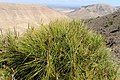 Pinus halepensis kz06 (Morocco).jpg