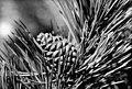 Pinus nigra (PSF).jpg