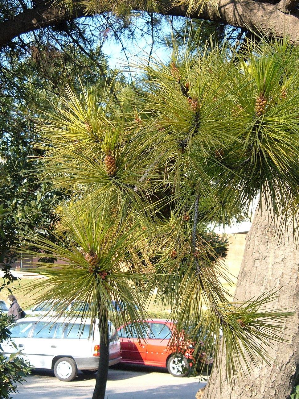 Pinus radiata leaves