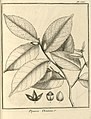 Piparea dentata Aublet 1775 pl 386.jpg