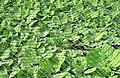 Pistia stratiotes (water lettuce), dense cover.jpg