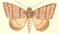 Pl.5-22-Plecoptera quadrilineata (Moore 1882) (Poaphila).JPG