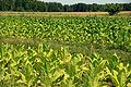 Plantacja tytoniu 01.jpg